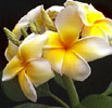 Plumeria rubra, exotic summer breezes