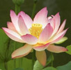 Pink lotus - Nelumbo nucifera, sacred waterlily