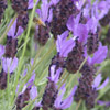 Spanish lavender - Lavandula stoechas, Butterfly lavender, lightly scented