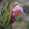 Showy evening primrose - Oenothera speciosa