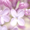 Pink Lilac, sweet scent of Spring